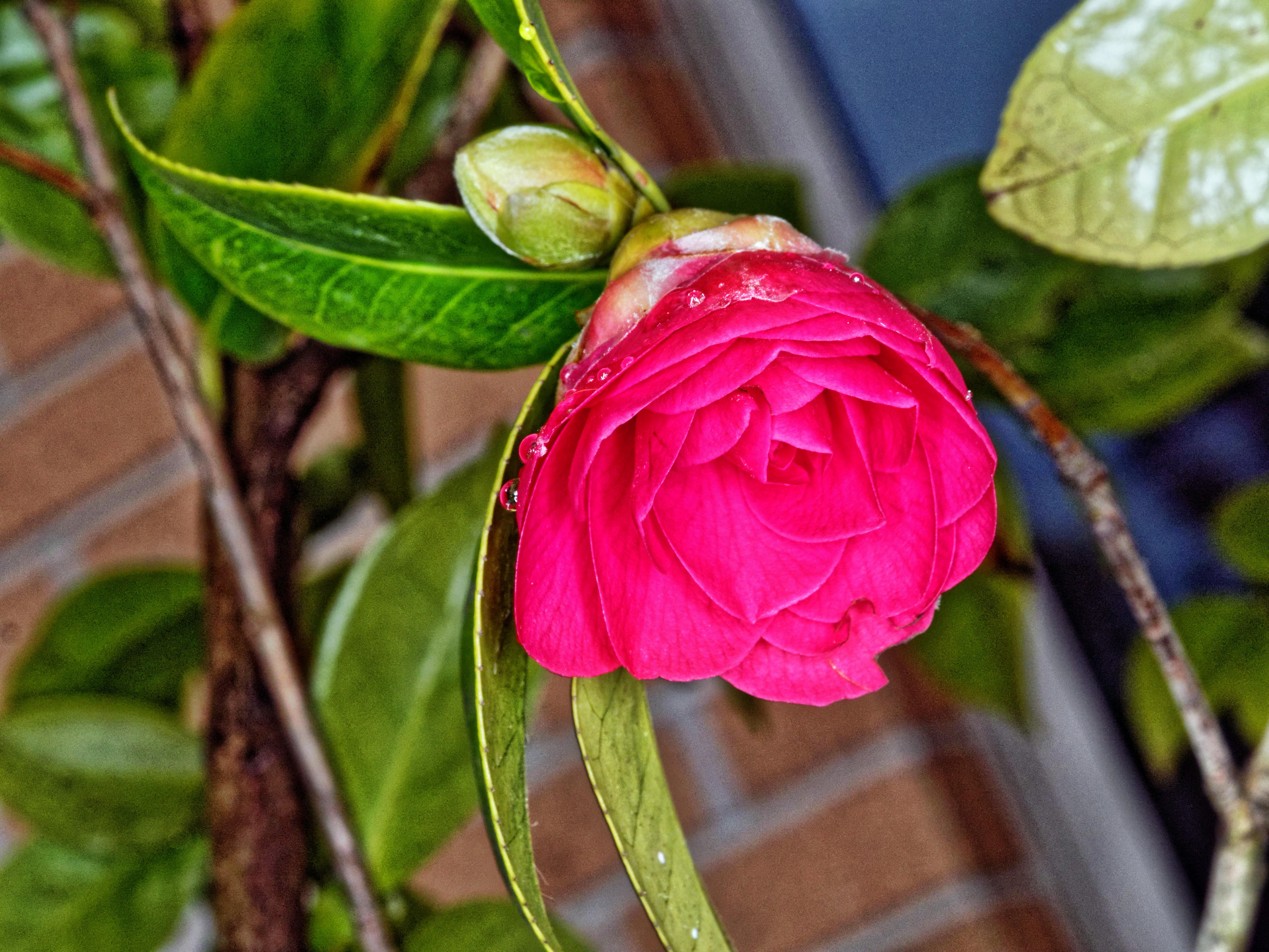Camellia-japonica-3.jpeg
