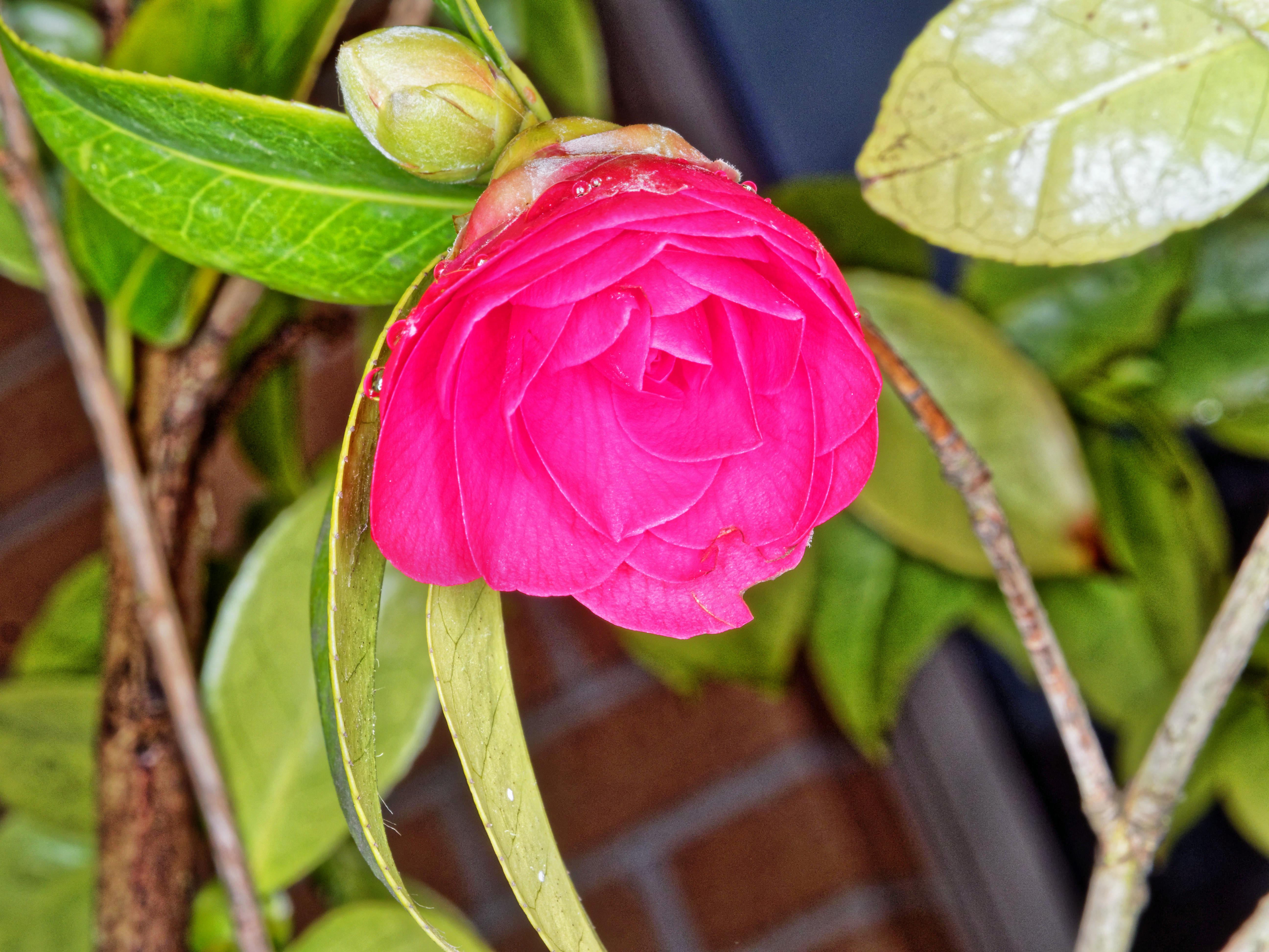 Camellia-japonica-4.jpeg