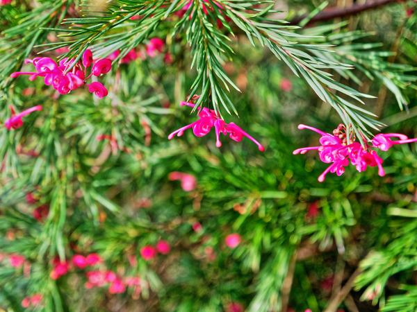 Grevillea-rosmarinifolia-2.jpeg