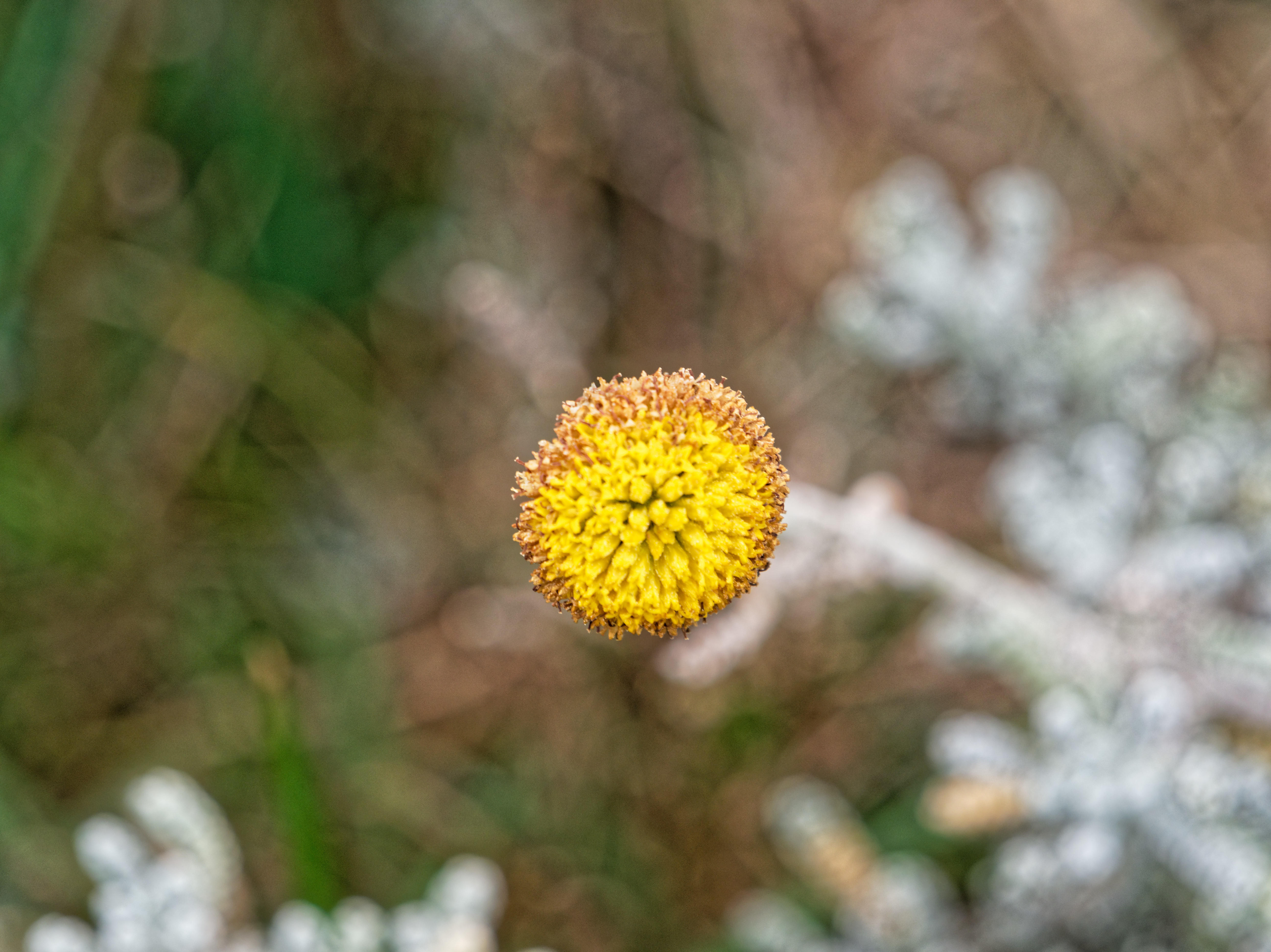 This should be Helichrysum-3.jpeg.  Is it missing?