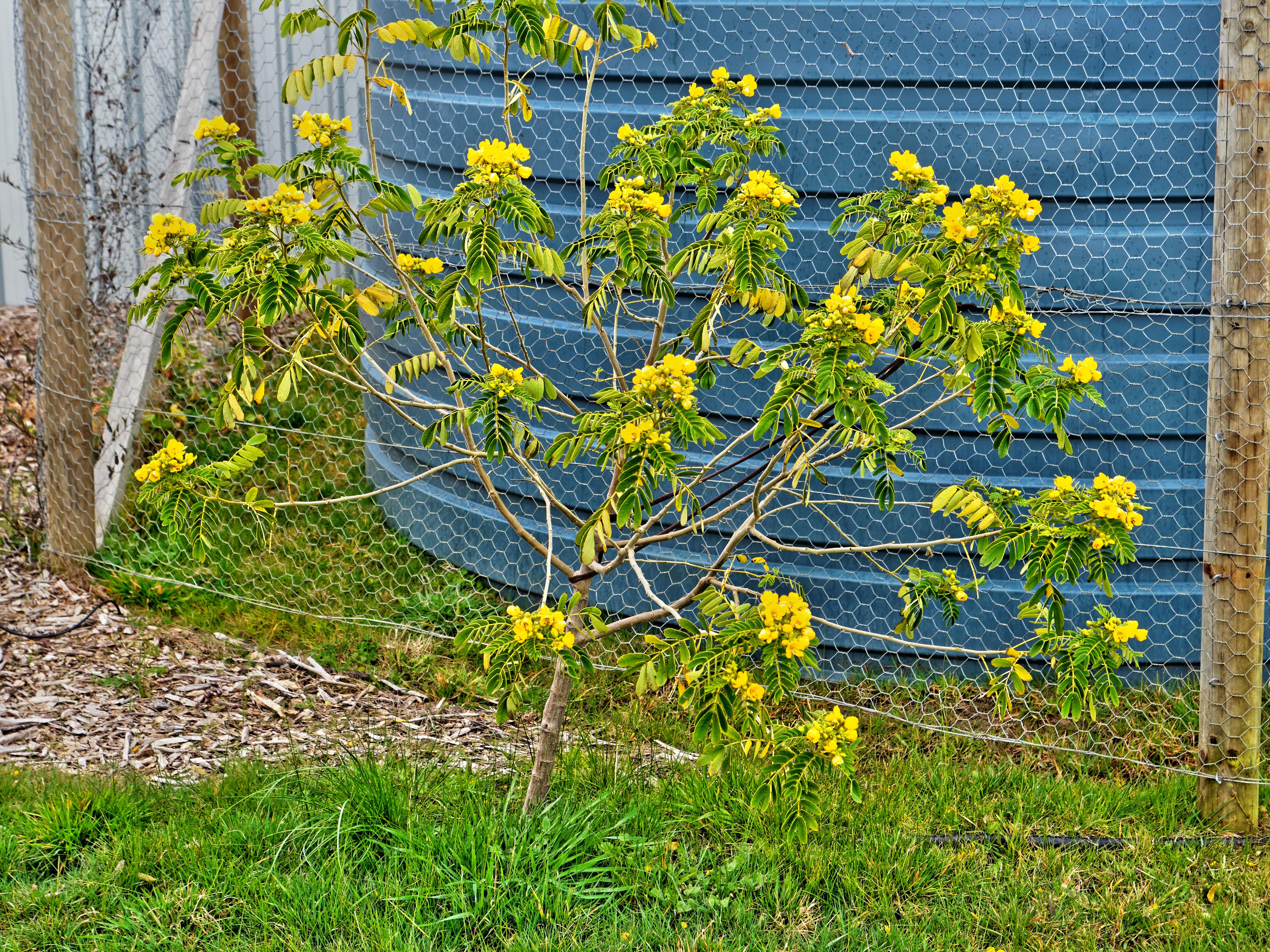 Senna-aciphylla.jpeg