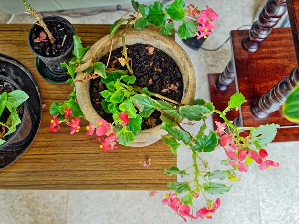 Begonia-4.jpeg