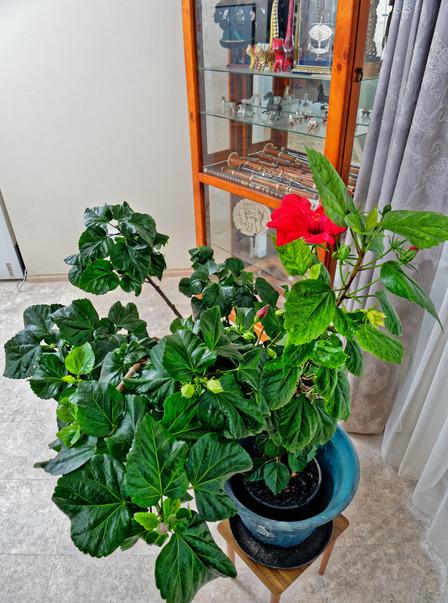 Hibiscus-5.jpeg