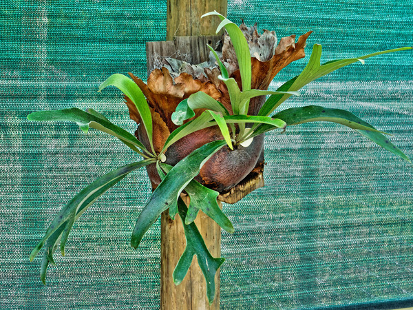 Staghorn-fern1.jpeg