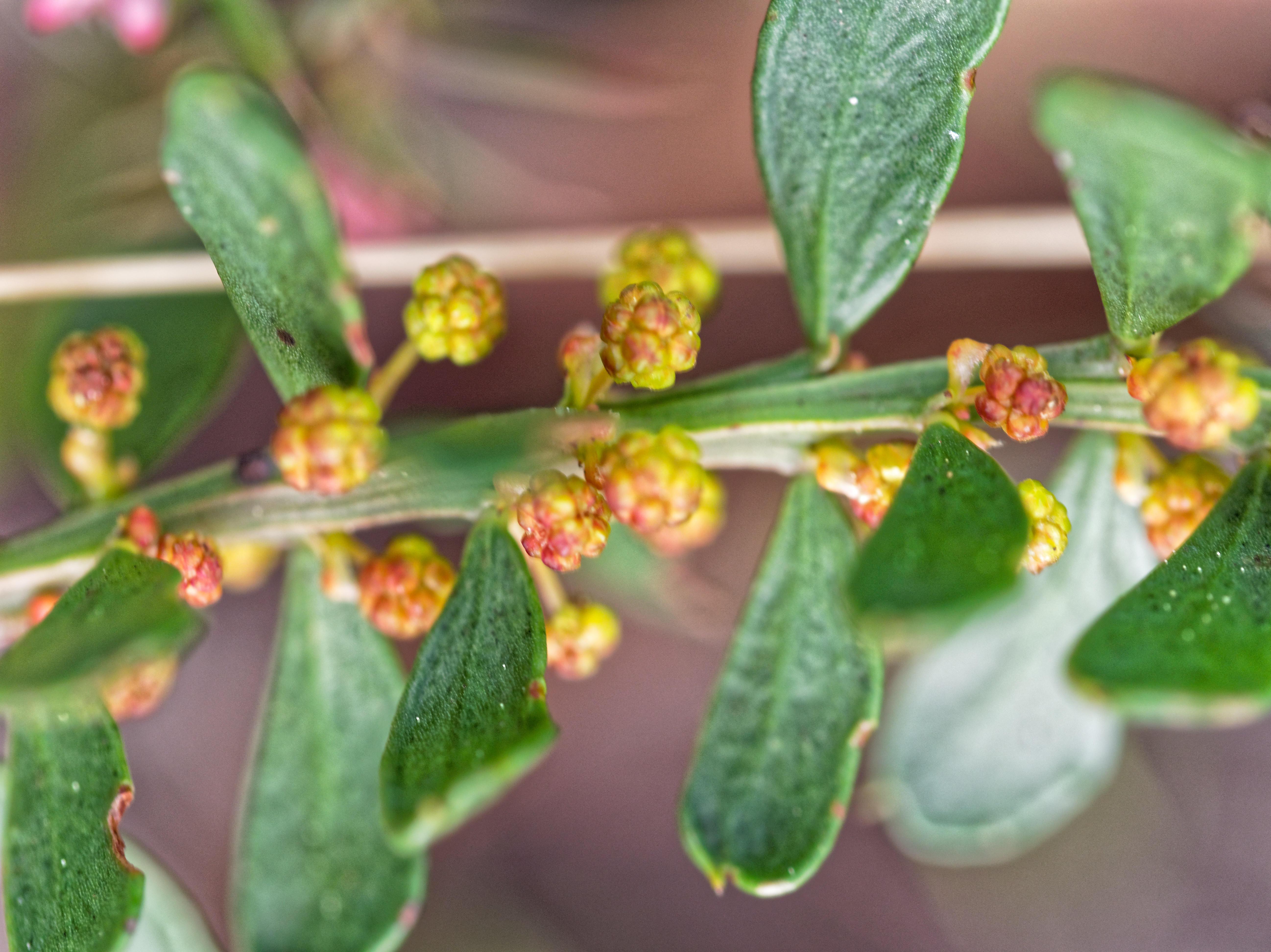 Acacia-paradoxa-2.jpeg