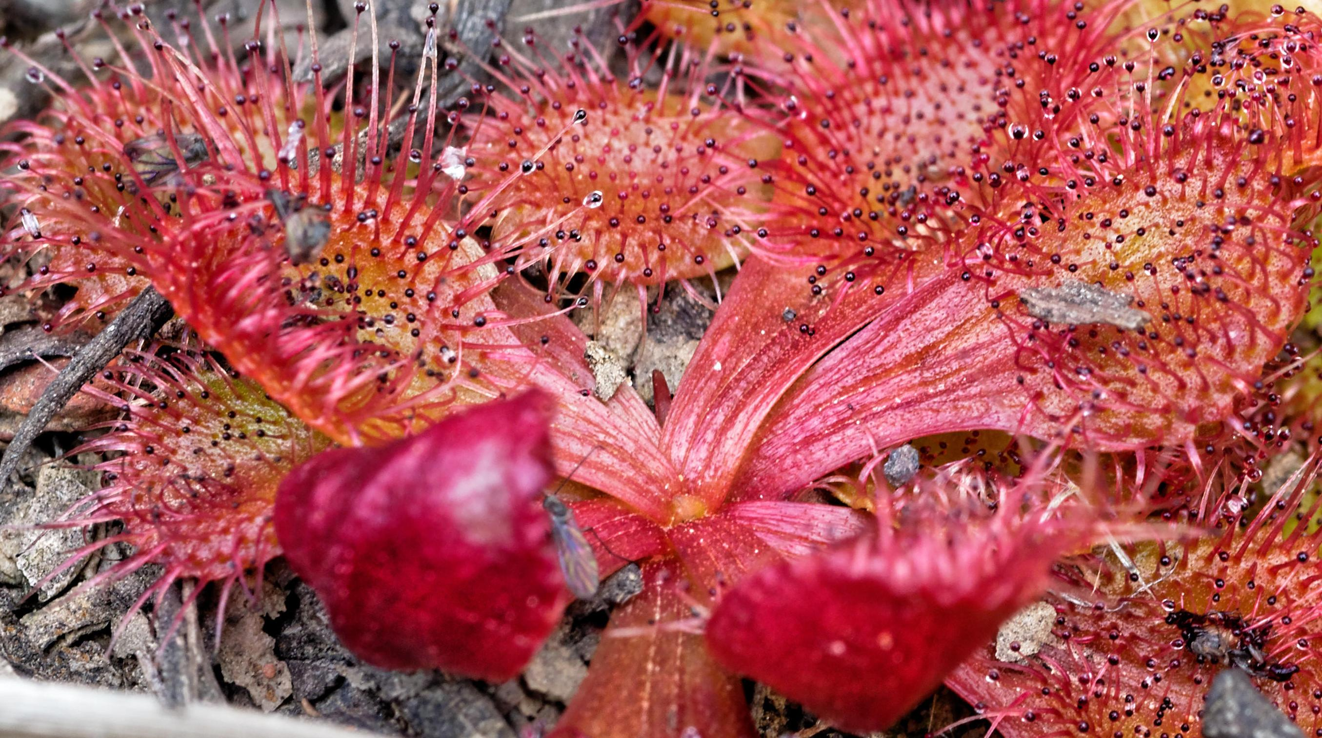 This should be Drosera-4-detail.jpeg.  Is it missing?