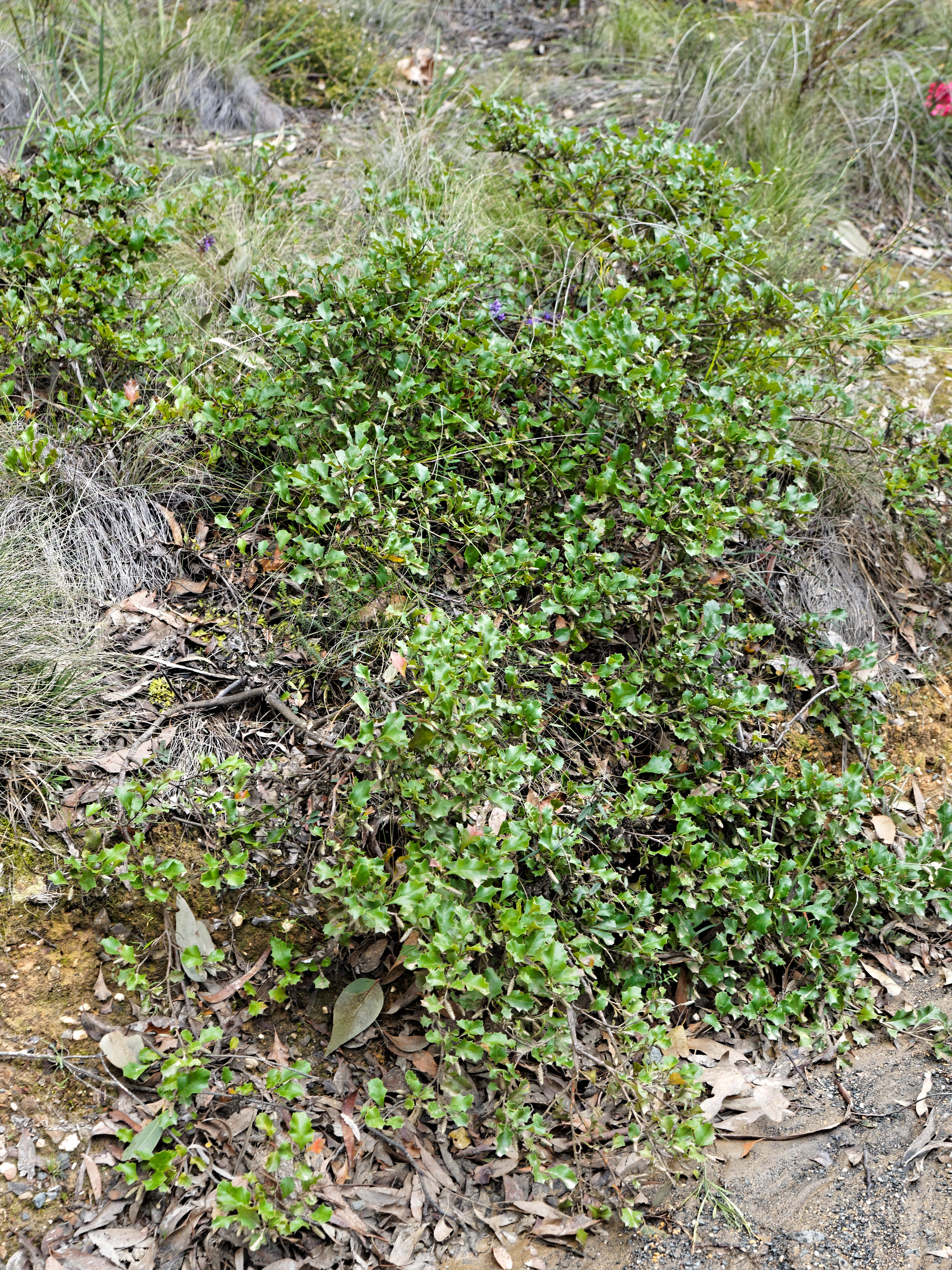 This should be Grevillea-bedggoodiana-4.jpeg.  Is it missing?