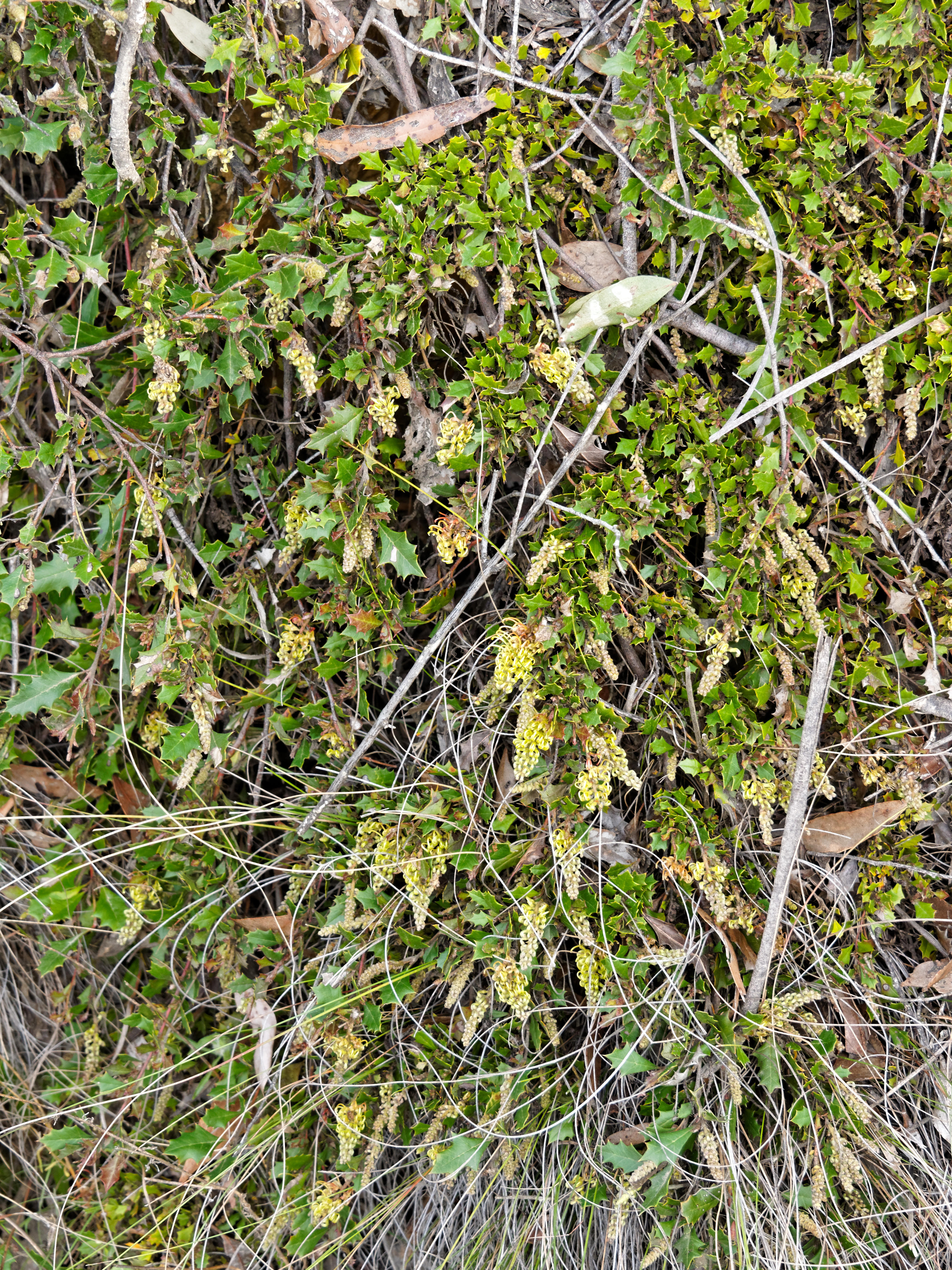 This should be Grevillea-bedggoodiana-11.jpeg.  Is it missing?