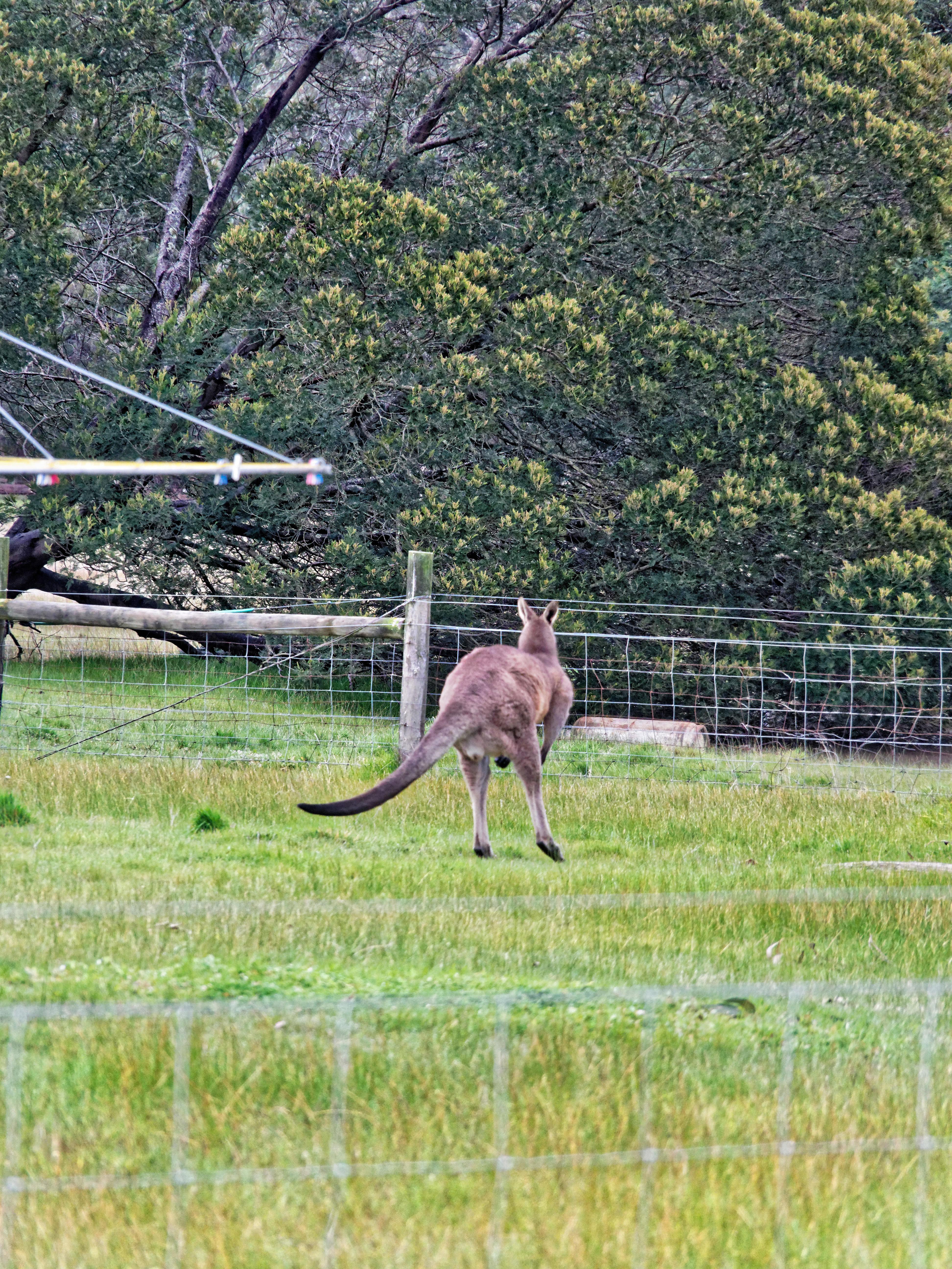 Kangaroo-8.jpeg