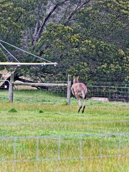Kangaroo-10.jpeg