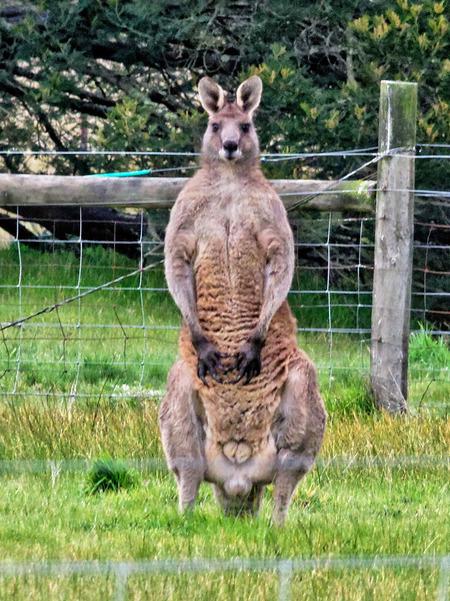 Kangaroo-2.jpeg