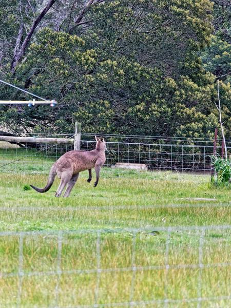 Kangaroo-7.jpeg