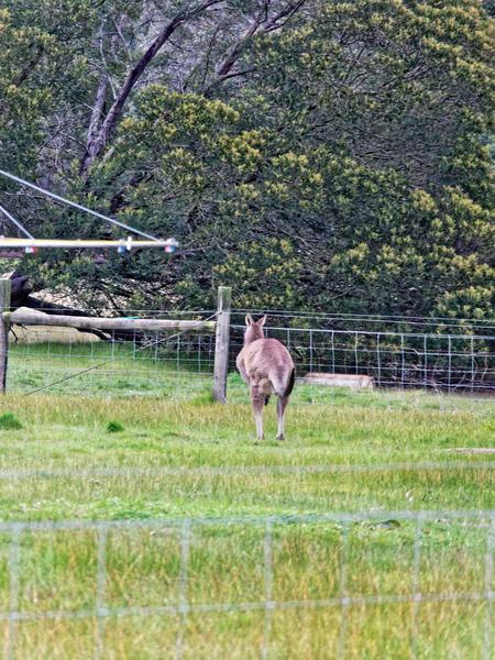 Kangaroo-9.jpeg