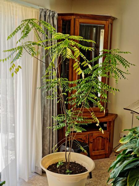 Curry-tree-1.jpeg