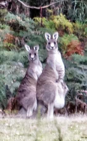 Kangaroos-2-detail.jpeg