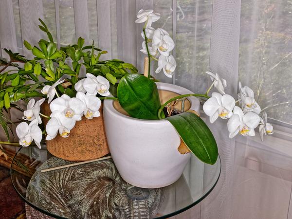 Phalaenopsis-2.jpeg