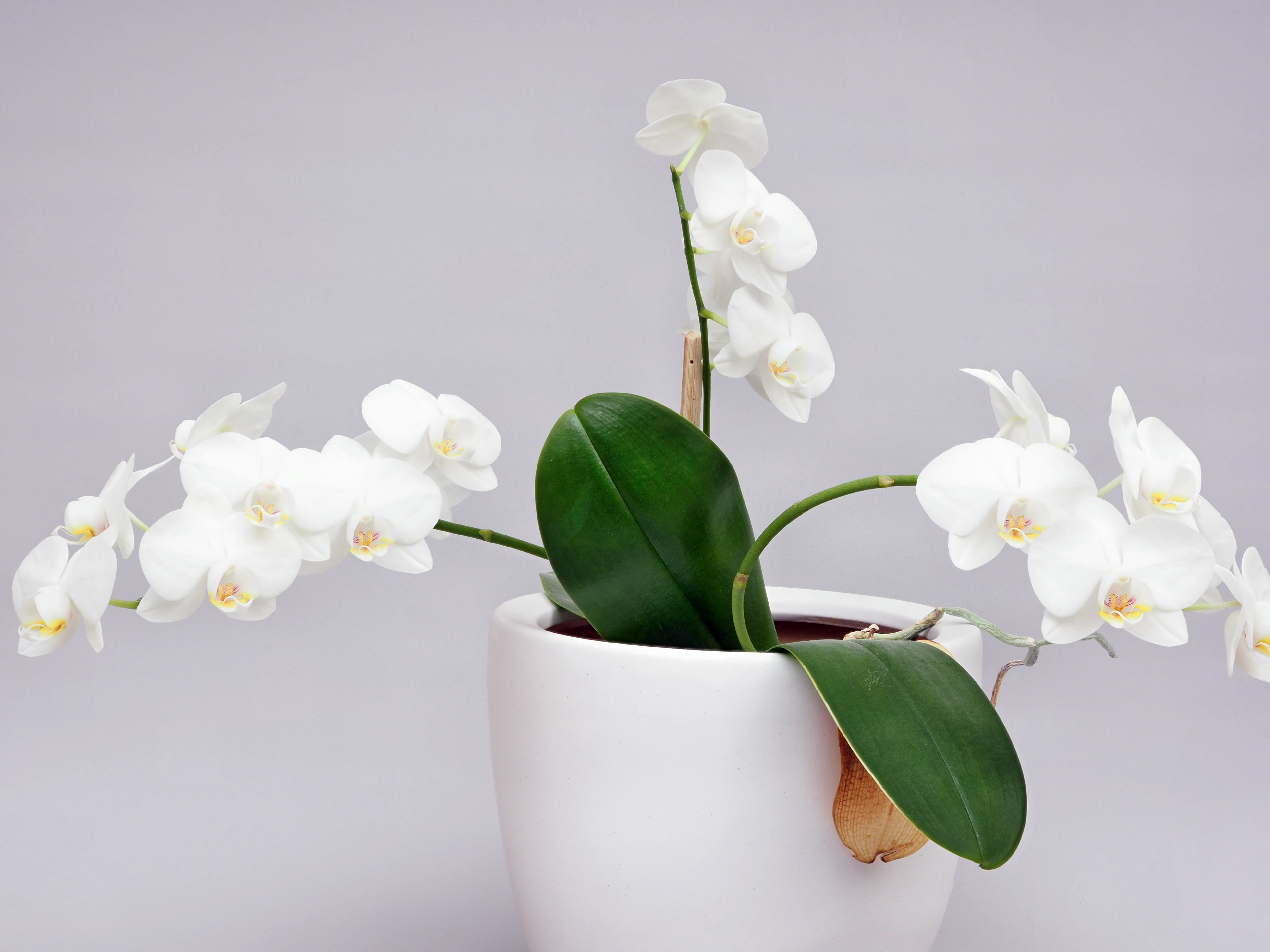 This should be Phalaenopsis-2.jpeg.  Is it missing?
