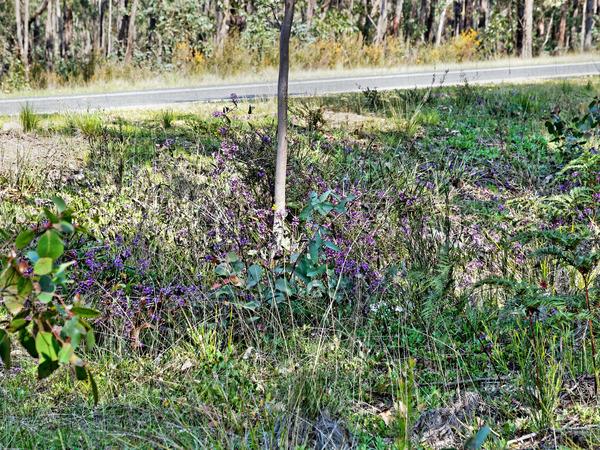 Hardenbergia-violacea.jpeg