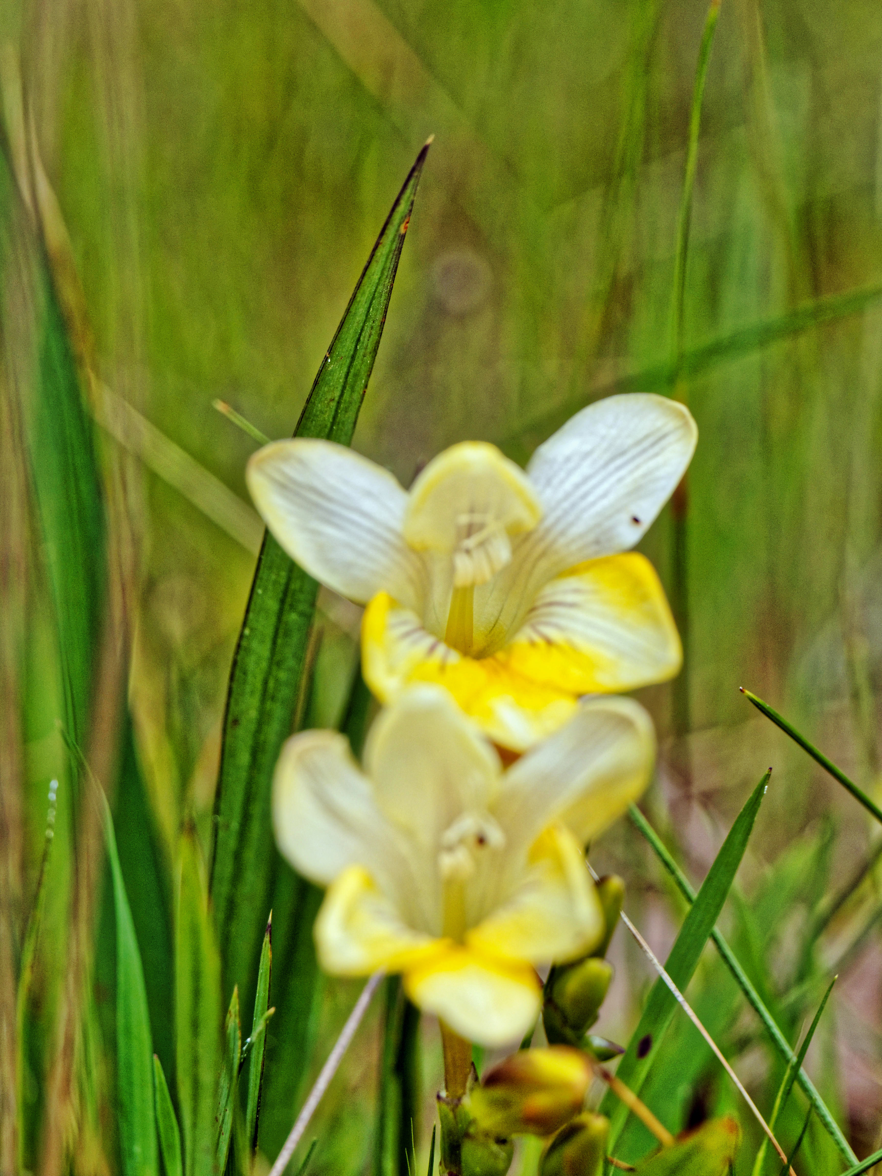 This should be Freesia-refracta-6.jpeg.  Is it missing?