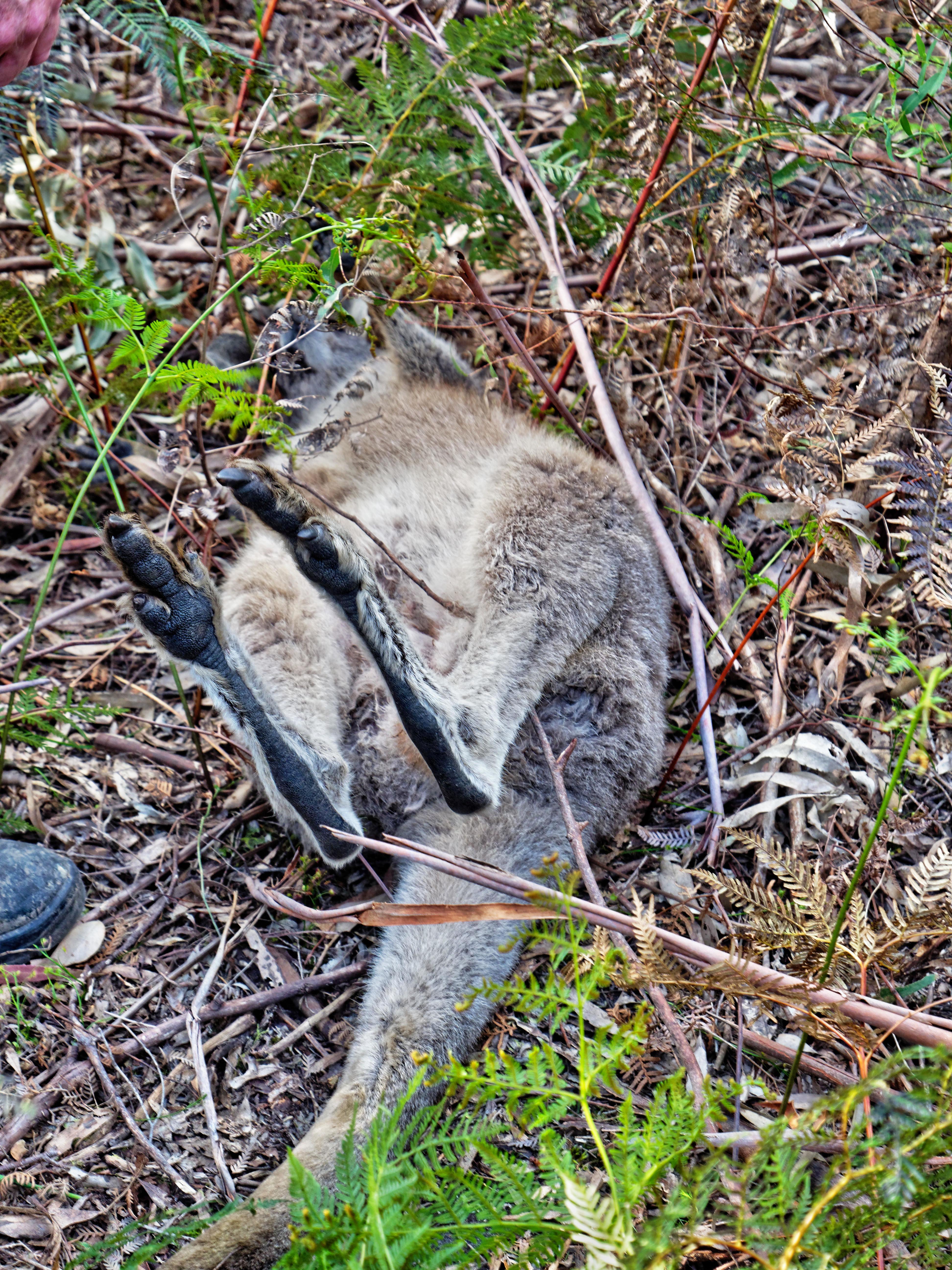 Kangaroo-rescue-23.jpeg