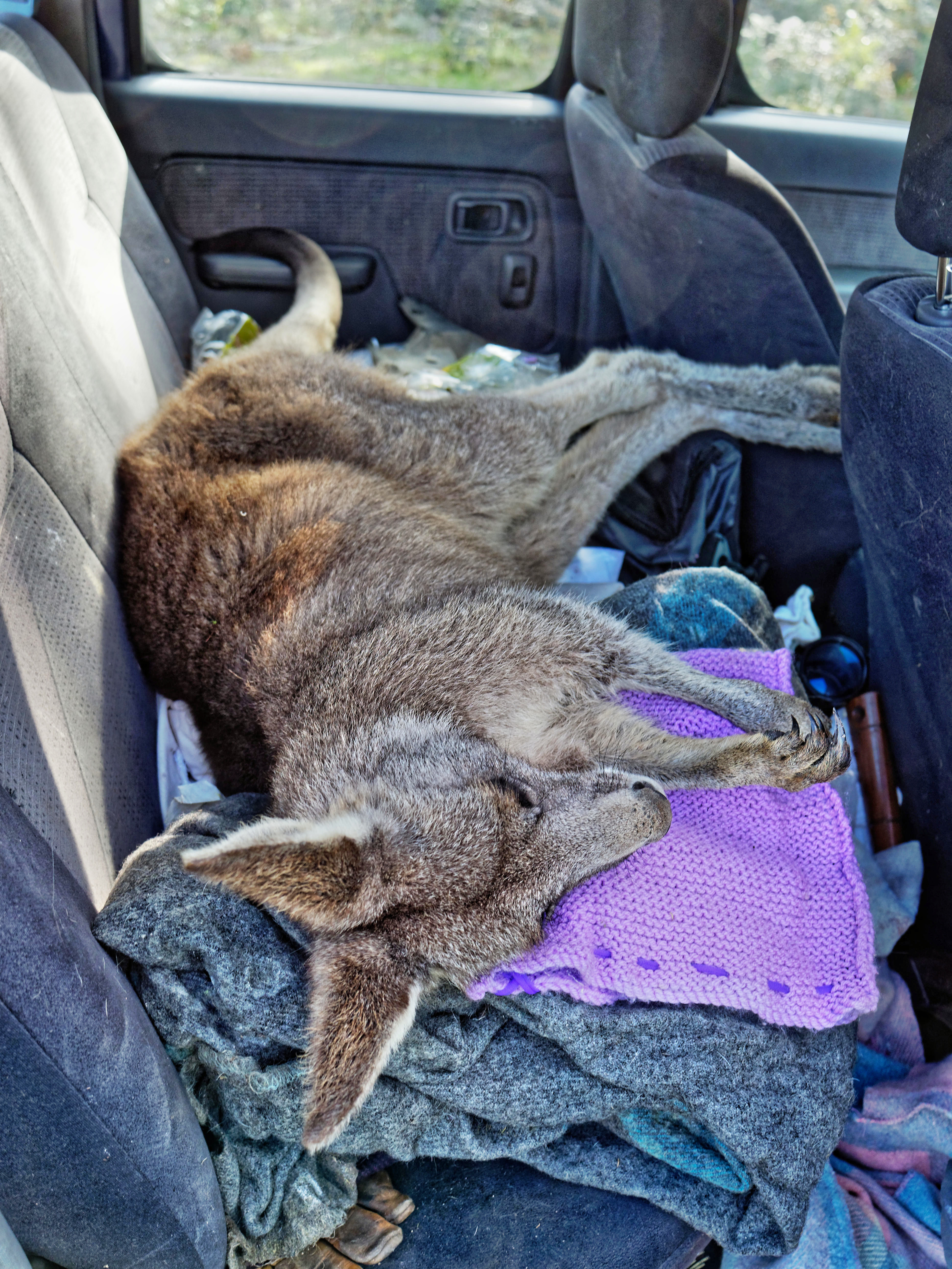 Kangaroo-rescue-44.jpeg
