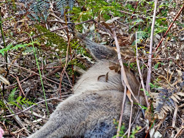 Kangaroo-rescue-11.jpeg