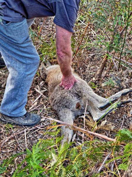 Kangaroo-rescue-25.jpeg