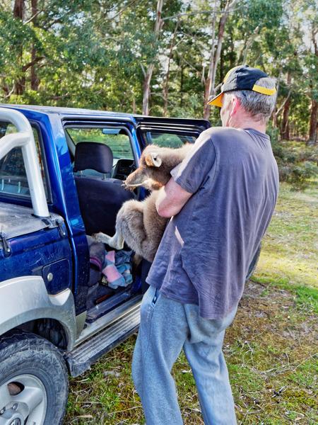 Kangaroo-rescue-39.jpeg