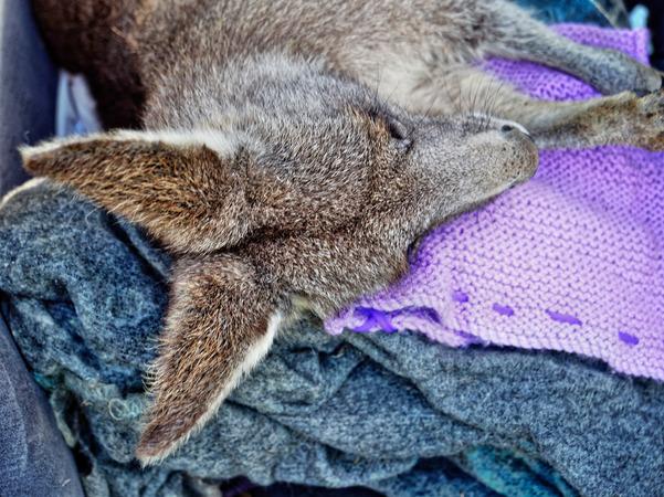 Kangaroo-rescue-42.jpeg