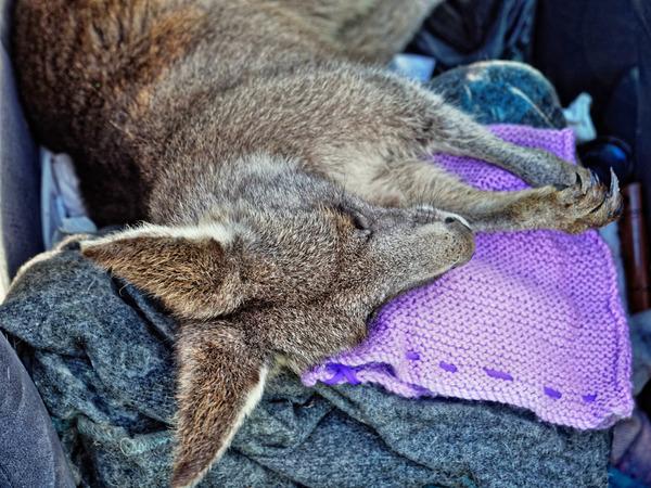 Kangaroo-rescue-43.jpeg