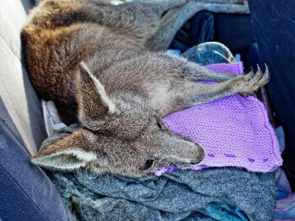 Kangaroo-rescue-46.jpeg