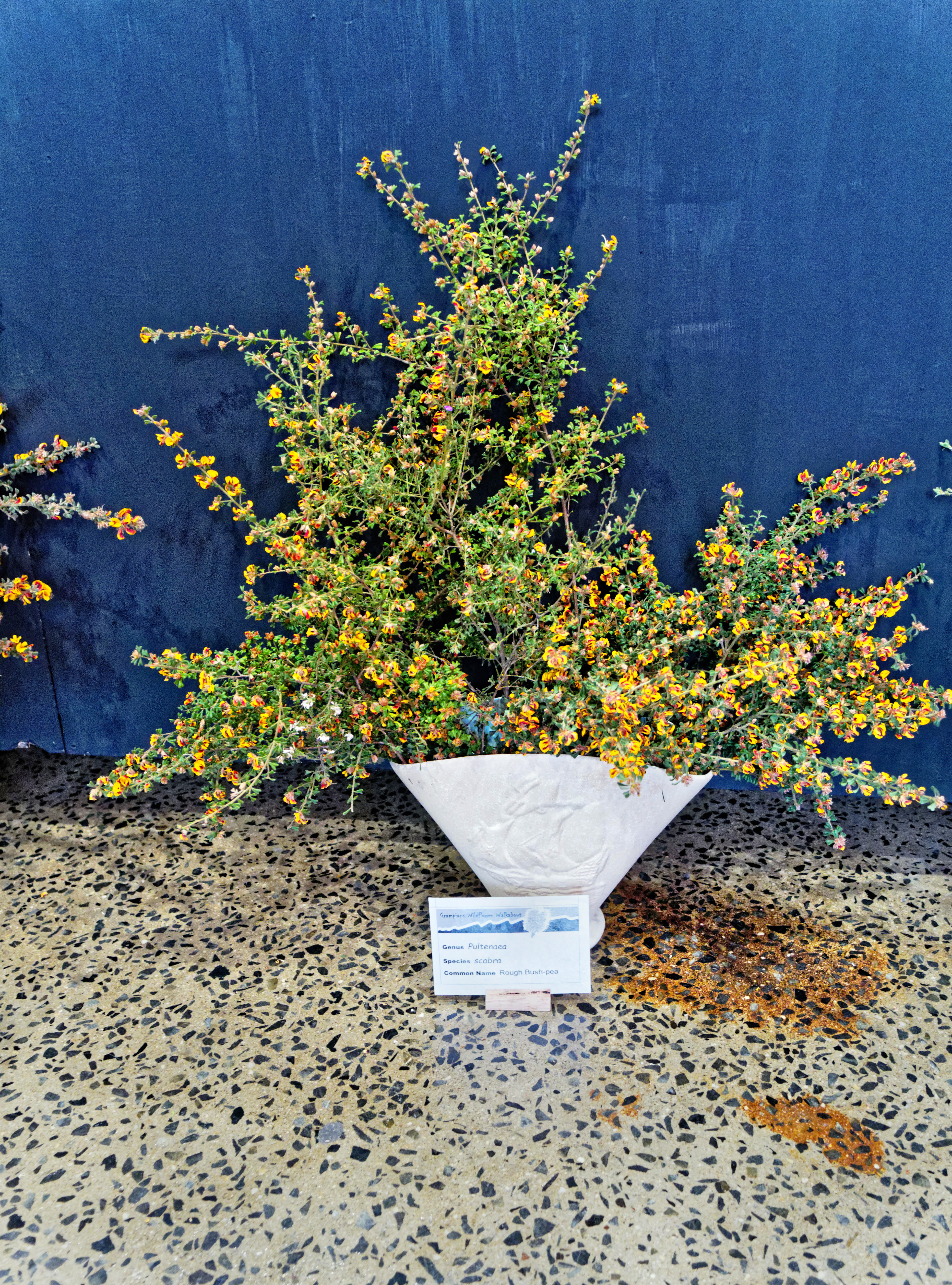 This should be Pultenaea-scabra-3.jpeg.  Is it missing?