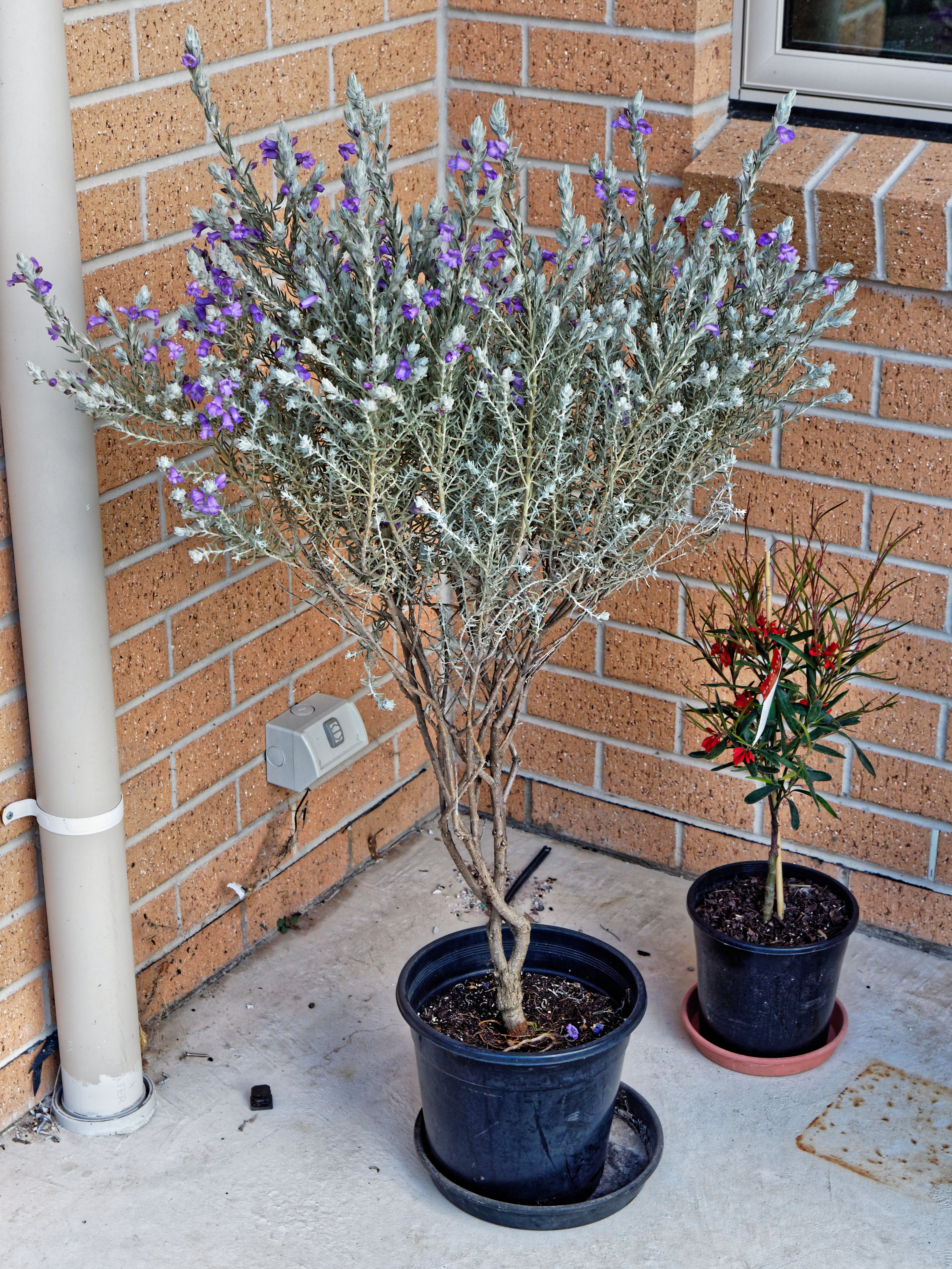 This should be Eremophila-nivea-1.jpeg.  Is it missing?