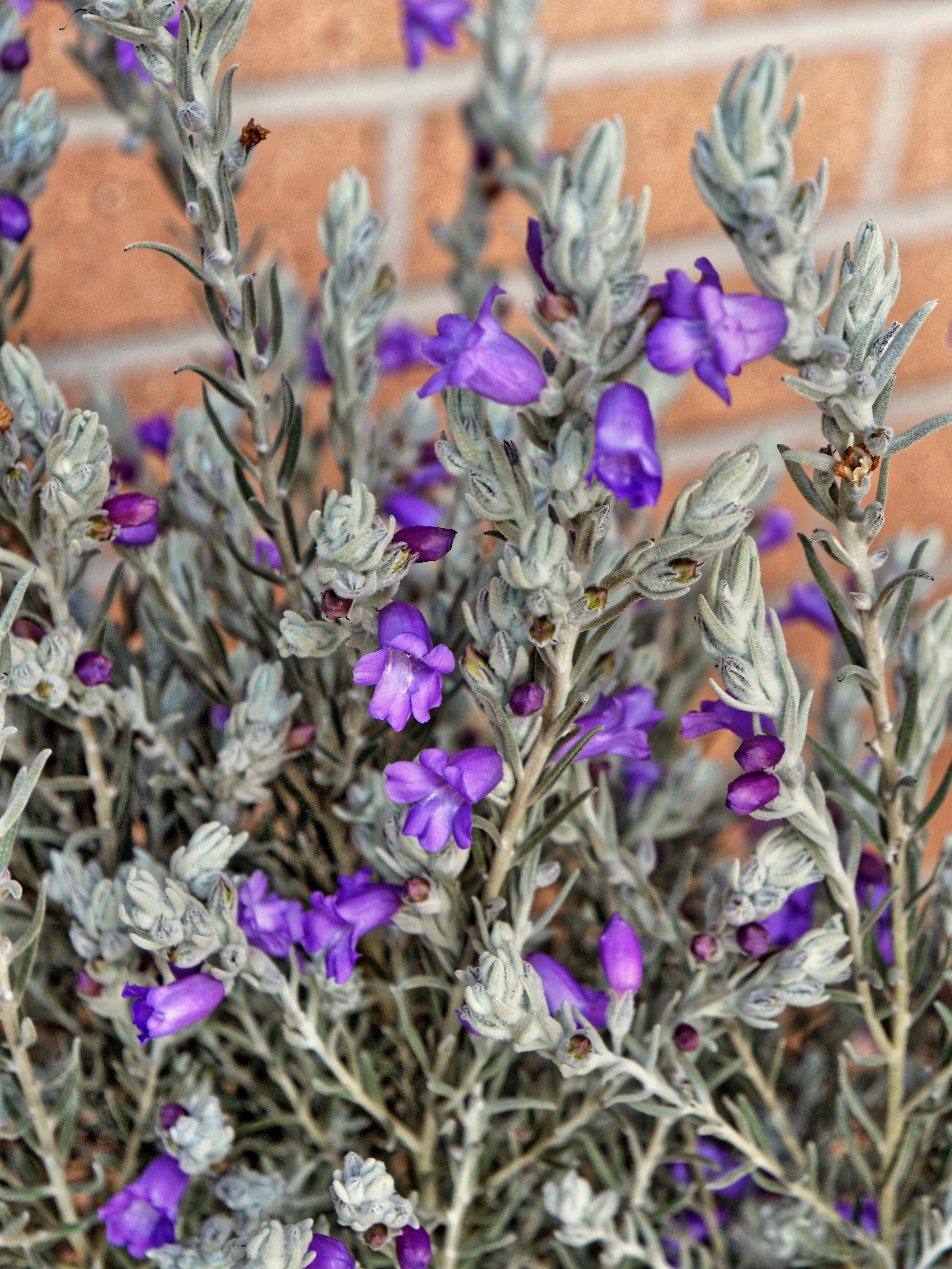 This should be Eremophila-nivea-2.jpeg.  Is it missing?