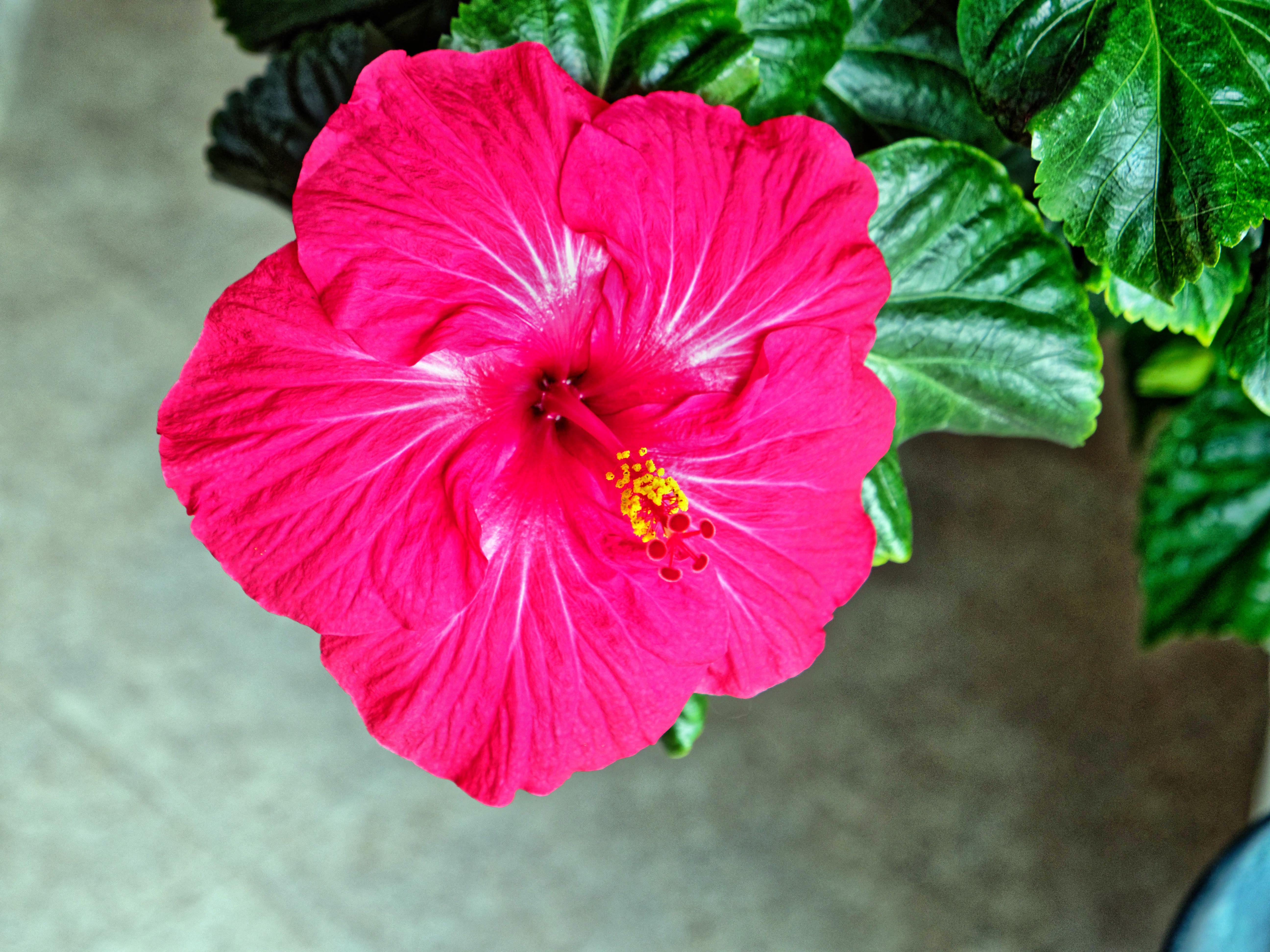 Hibiscus-rosa-sinensis.jpeg