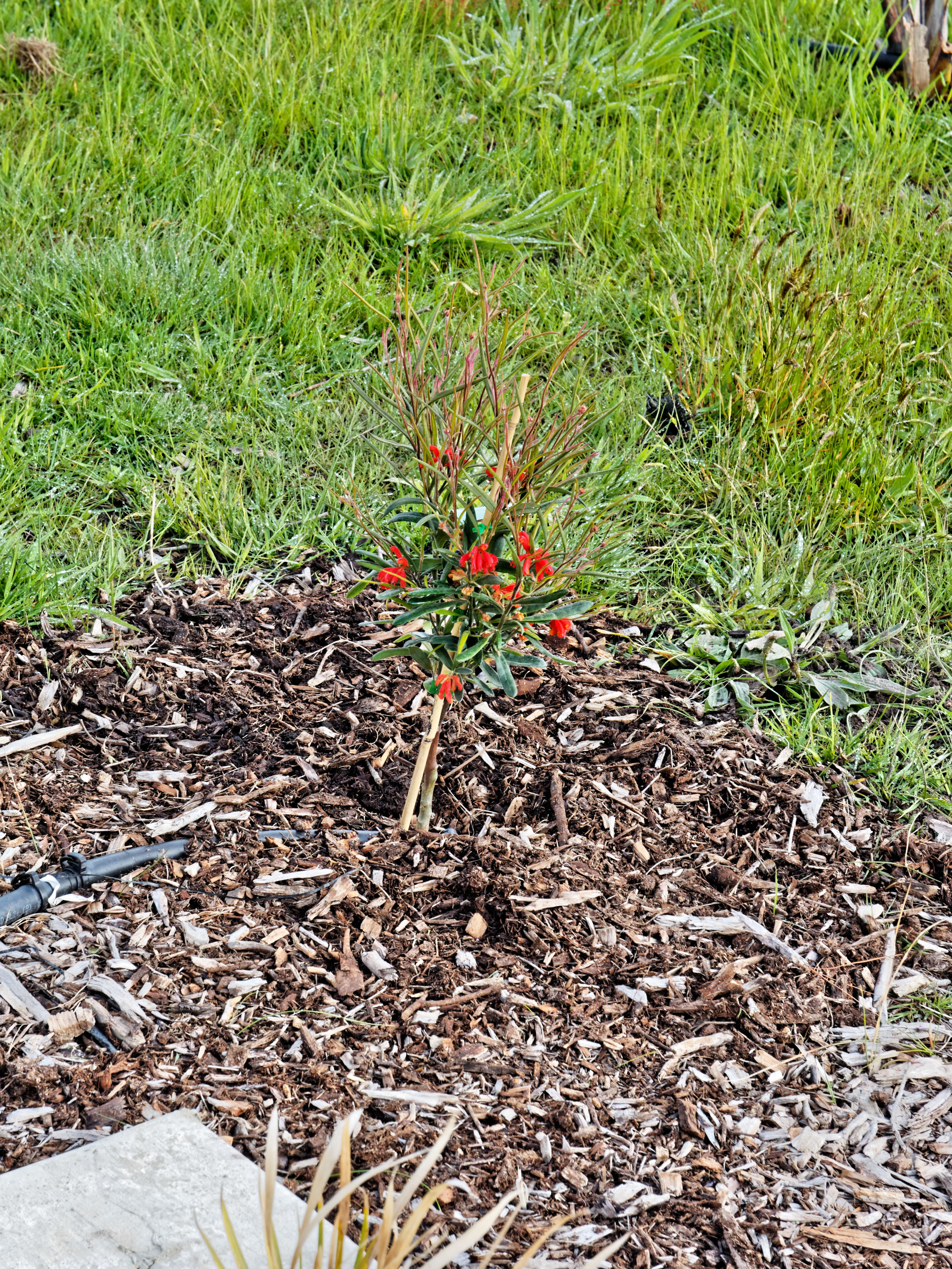 This should be Grevillea-bronwenae.jpeg.  Is it missing?