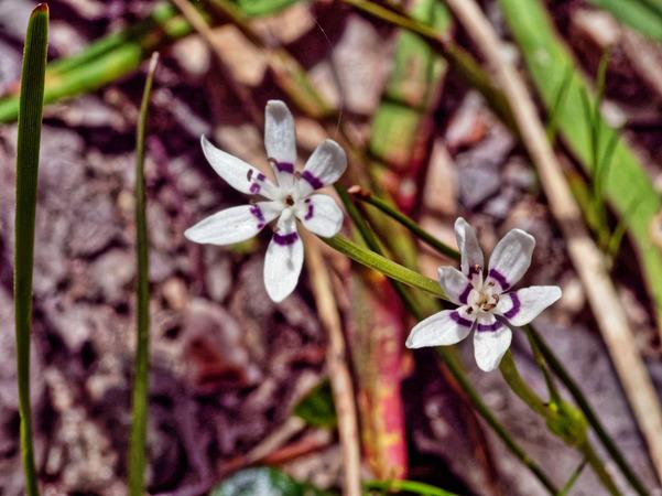Wurmbea-dioica-1.jpeg