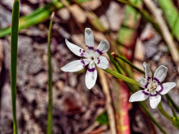 Wurmbea-dioica-2.jpeg