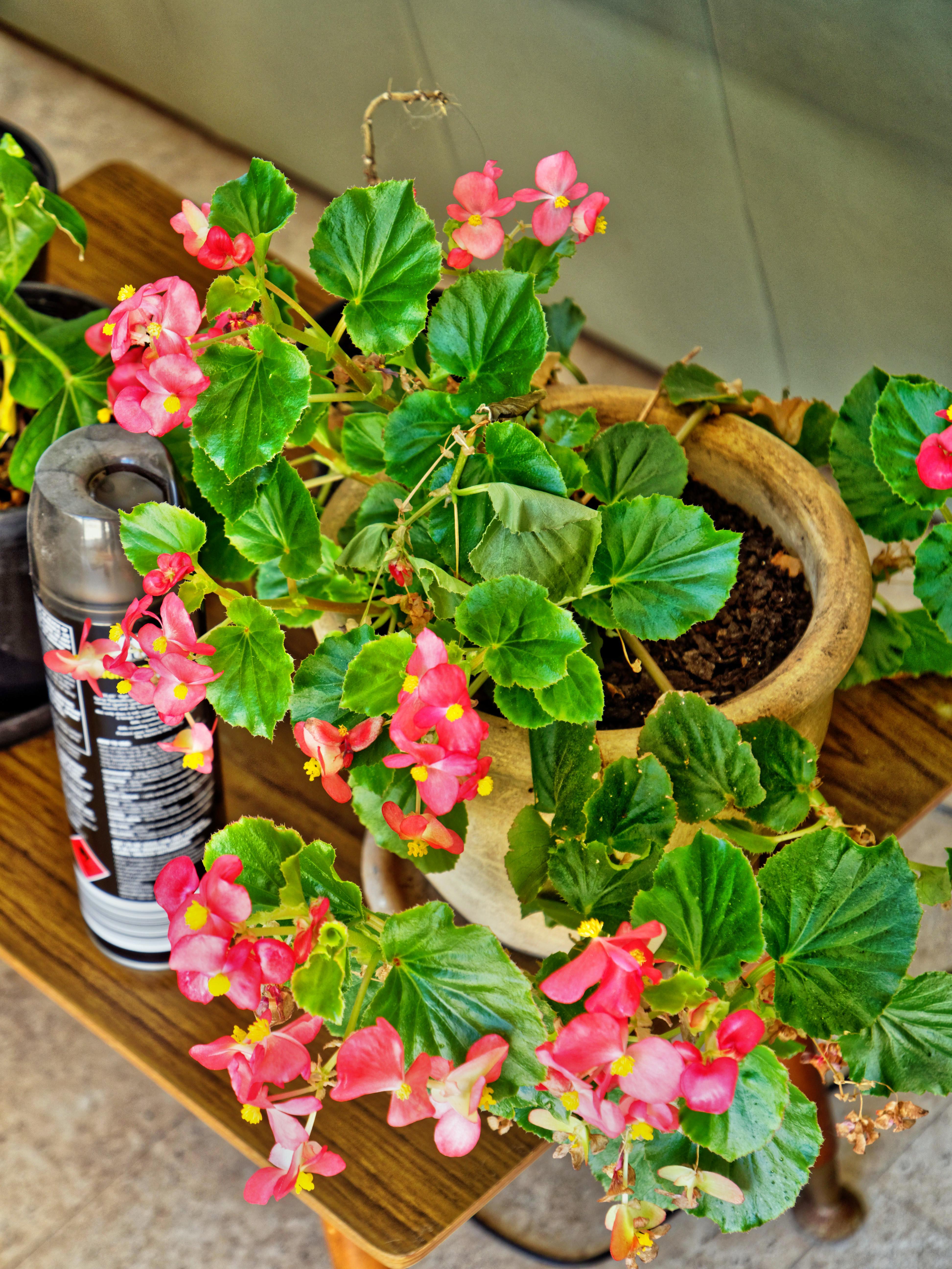 Begonia-1.jpeg