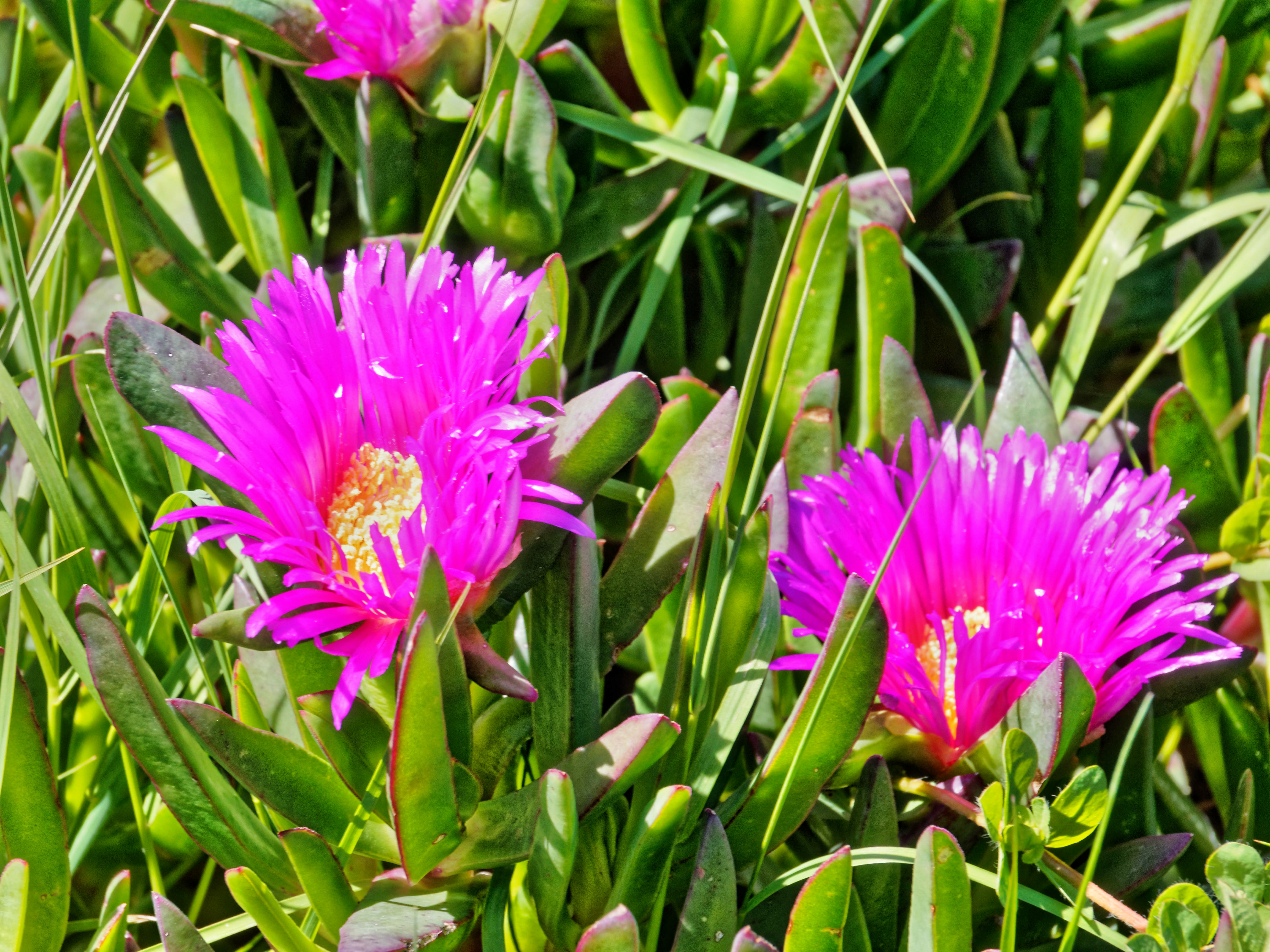 Carpobrotus-2.jpeg