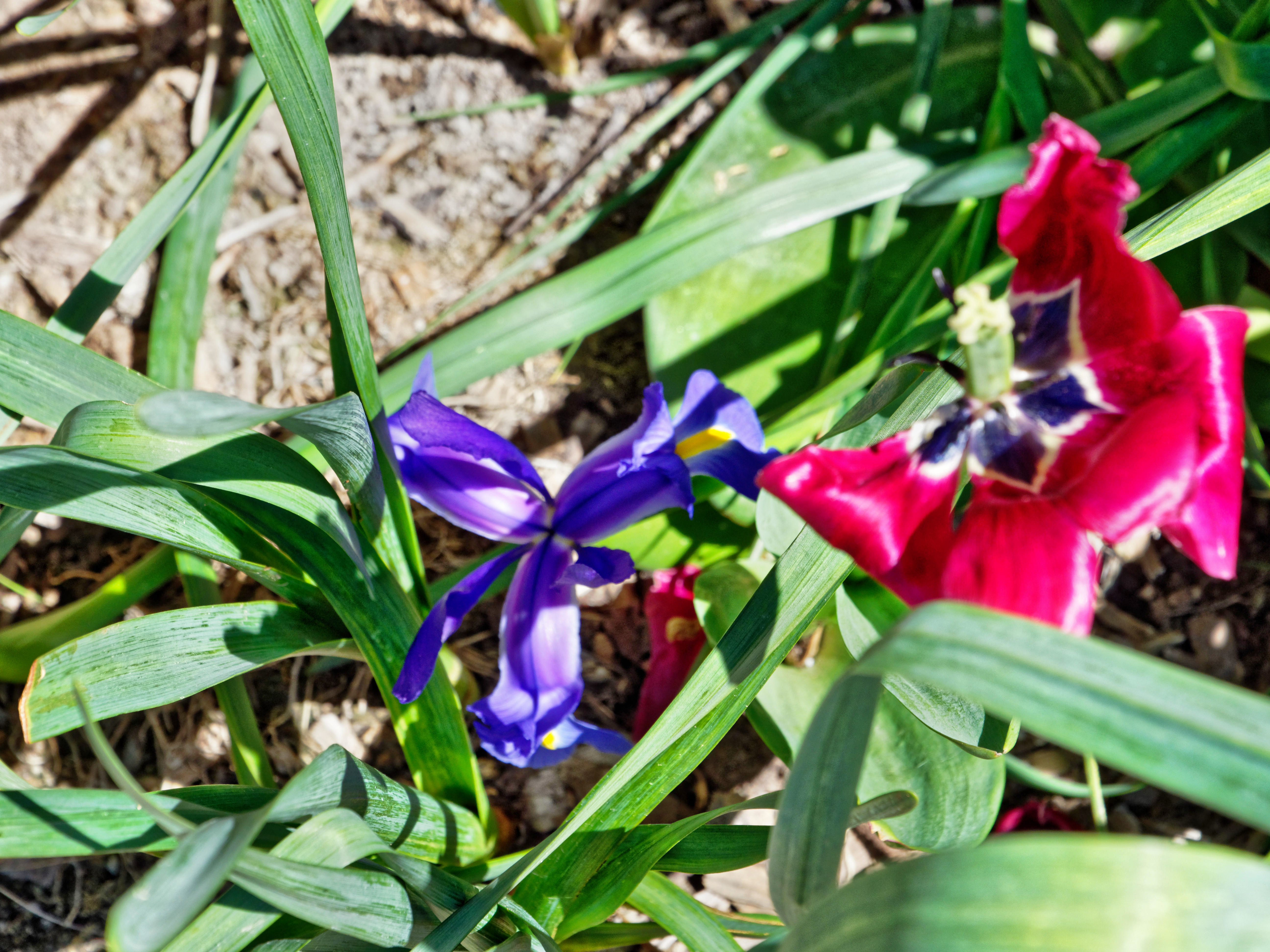 Iris-tulip.jpeg