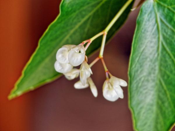 Begonia-2.jpeg