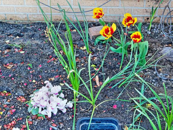 Cyclamen-tulip-1.jpeg