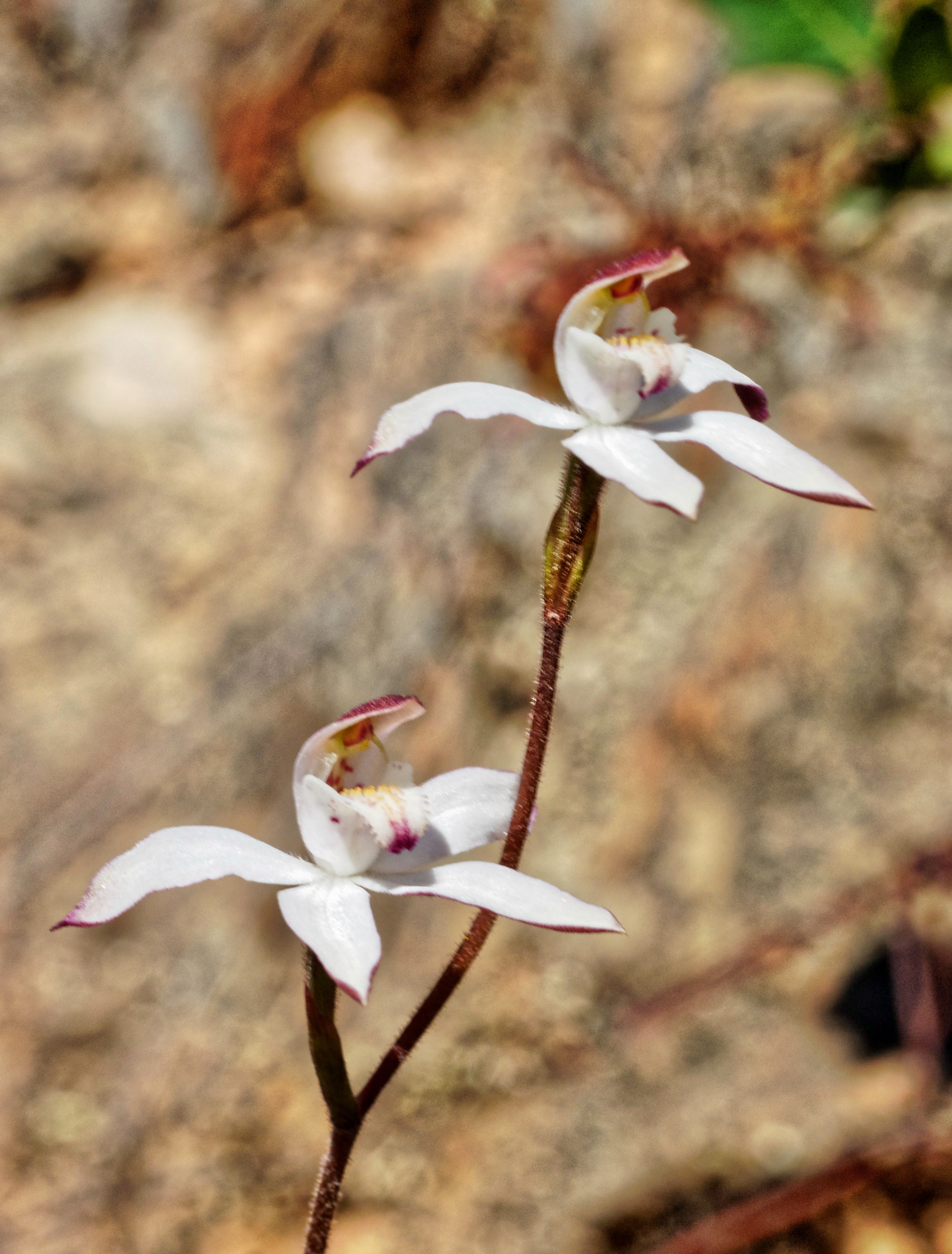 This should be Caladenia-3.jpeg.  Is it missing?