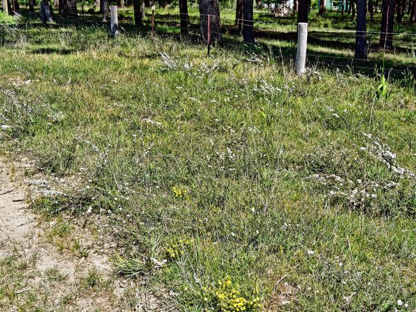 Leptospermum-Goodenia.jpeg