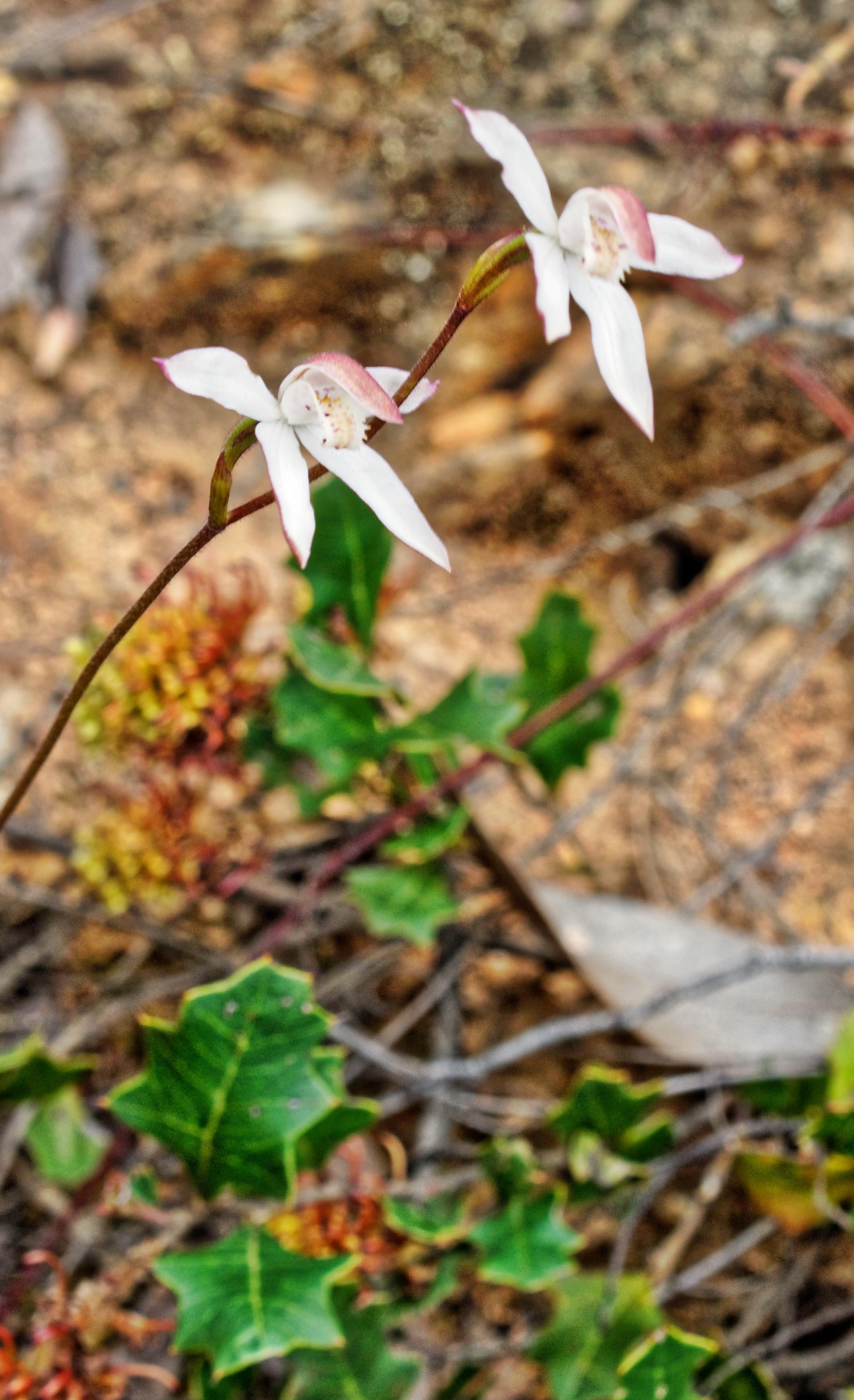 Caladenia-gracilis-3.jpeg
