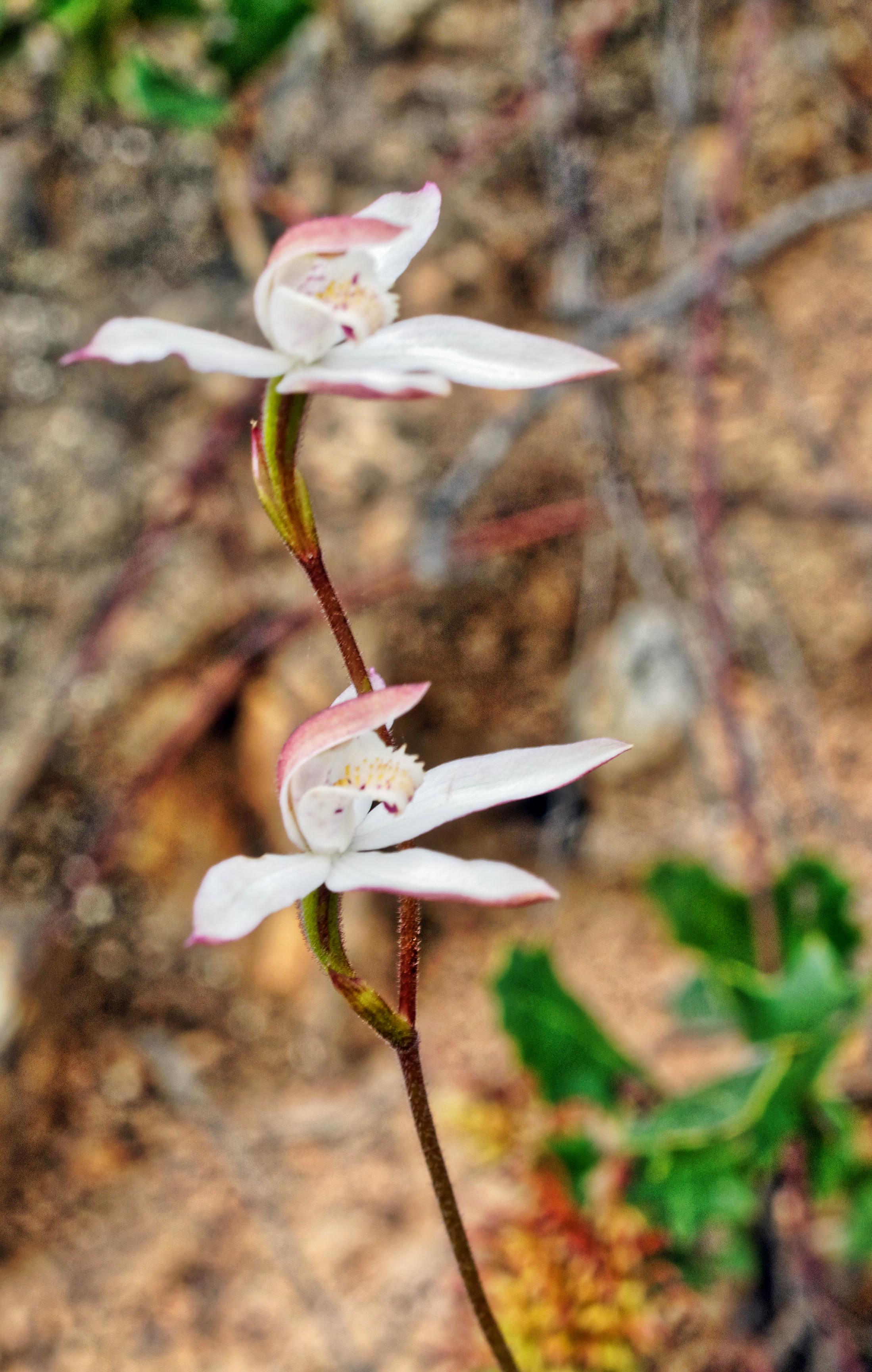Caladenia-gracilis-8.jpeg