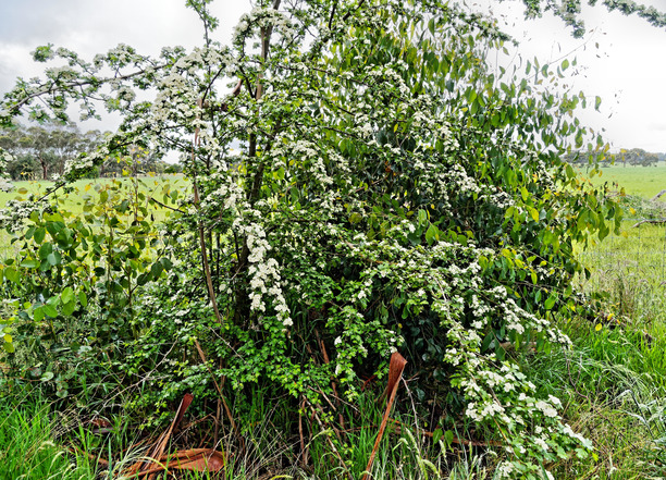 Mystery-bush-2.jpeg