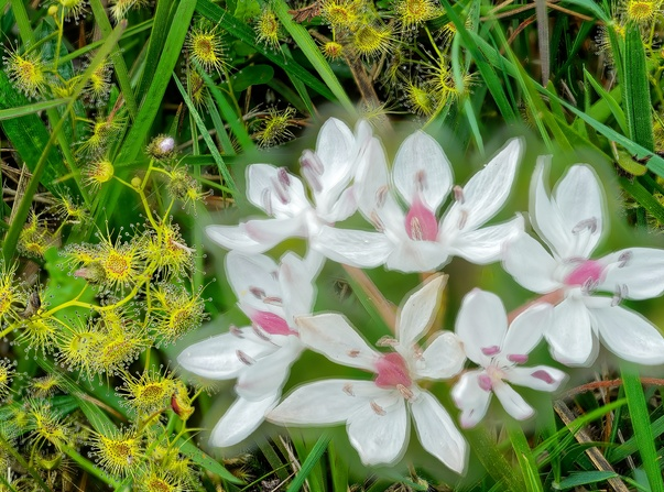 Burchardia-umbellata-2-FOCUS-projects.jpeg