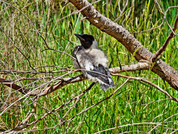 Baby-magpie-2.jpeg